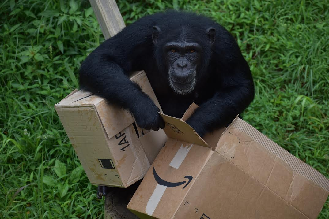 Photo of a Chimp Playing with Amazon boxes.